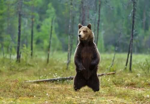 L'orso bruno: caratteristiche e curiosità