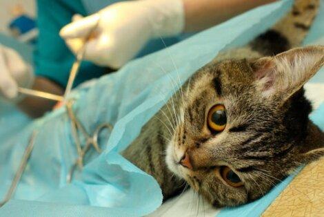sterilizzazione del gatto