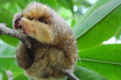 Il formichiere nano: uno strano animale di cui si sa ancora poco