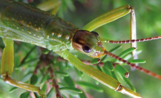 Giovane esemplare di insetto stecco dell'isola di Lord howe