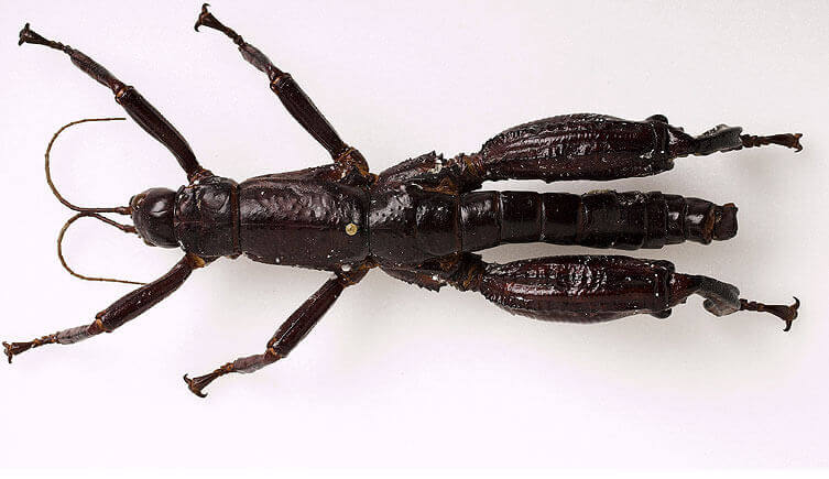 Esemplare insetto stecco