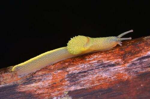 La lumaca ninja del Borneo: curiosità su questo mollusco stranissimo