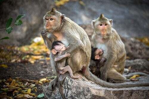 Il macaco rhesus, una scimmia a cui dobbiamo tantissimo