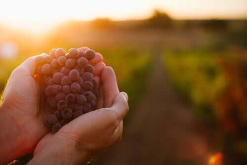 Vinaccia per il bestiame: proprietà nutrizionali