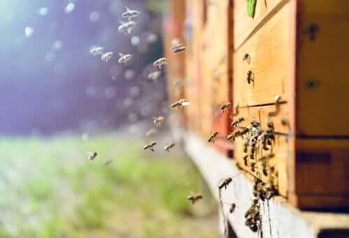 Scoperto un nuovo medicinale per le api