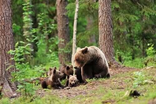Femmina di orso bruno con i suoi cuccioli