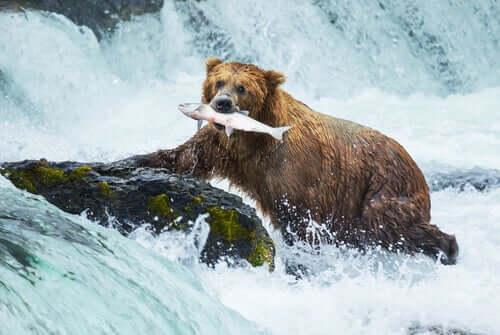 Orso che cattura un salmone