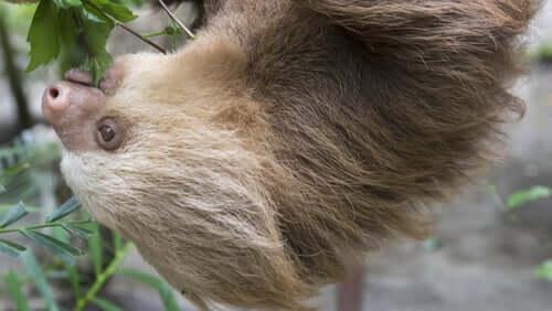 Il bradipo didattilo, un animale dalla proverbiale lentezza