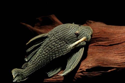 Il pesce gatto che mangia il legno: un pesce davvero strano