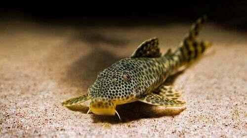 Pesce gatto maculato