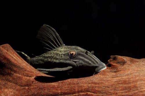 pesce gatto che mangia il legno