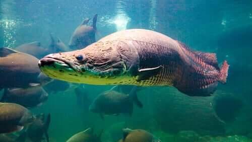 Il pirarucù gigante dell'Amazzonia, un pesce straordinario