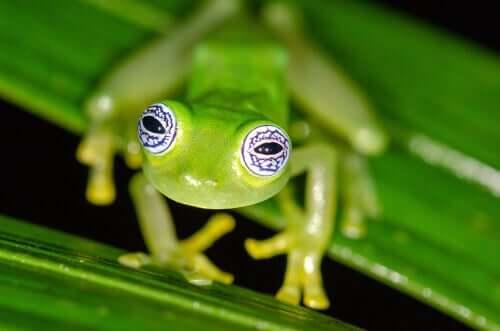 La rana di vetro: comportamento e caratteristiche