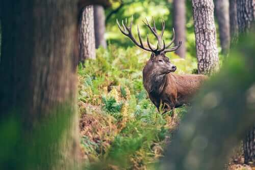 Renna nel bosco