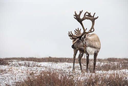 Le renne sono a rischio estinzione?