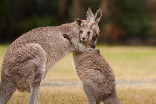 Riproduzione del canguro