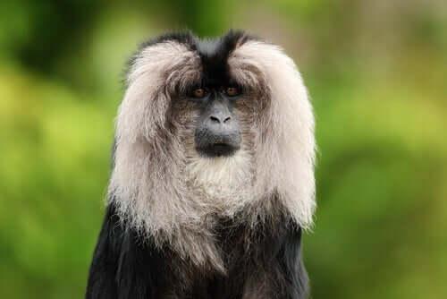 Il sileno: habitat e abitudini di questo primate
