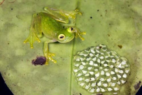 Riproduzione della rana di vetro