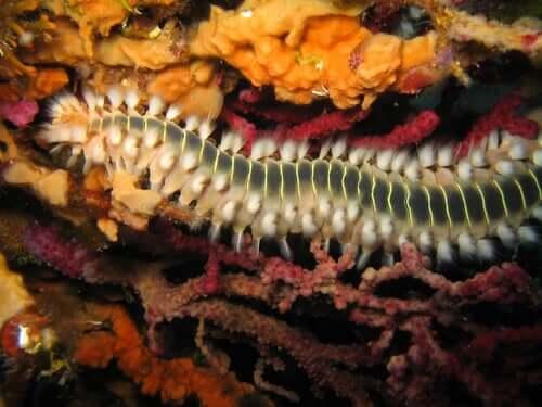 Caratteristiche del verme-calamaro