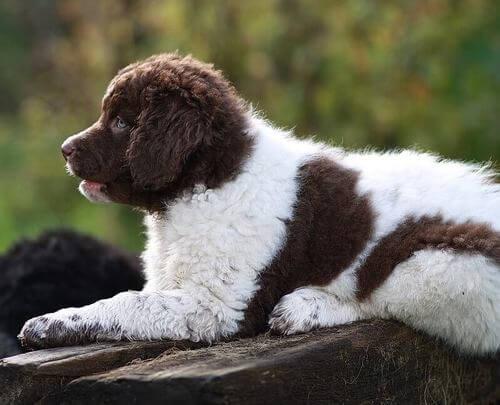 Wetterhoun marrone e bianco