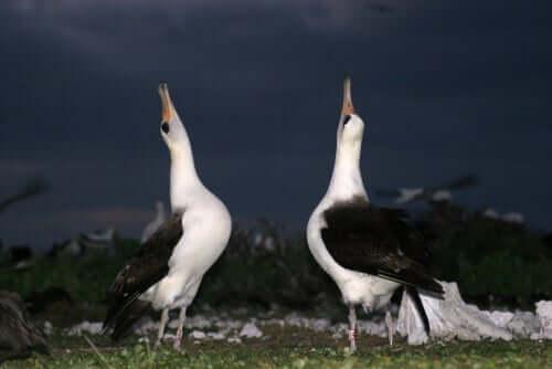 uccelli con il pecco puntato in alto: il fenomeno del lek