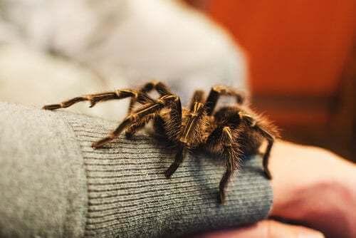Animali esotici ragni: tarantola sul braccio del padrone