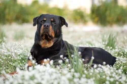 Caratteristiche comuni nei cani di taglia grande