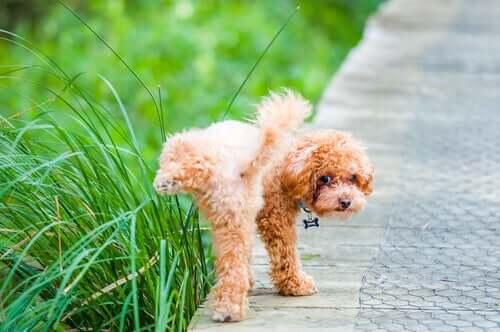 Comportamento del cane dopo la sterilizzazione e urina