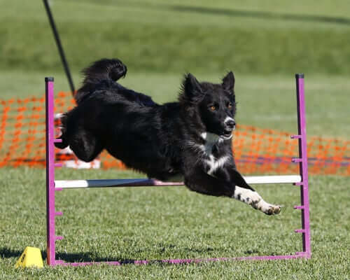 Cane che salta un ostacolo