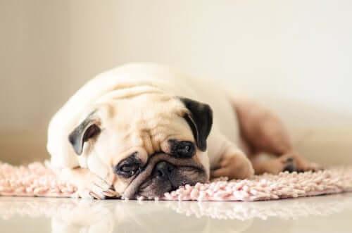 Cane stanco sul tappeto