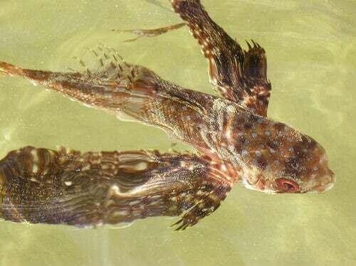 Pesce con le ali in acqua