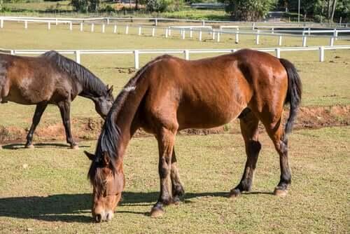 Cavalli magri che pascolano e fatica cronica negli animali