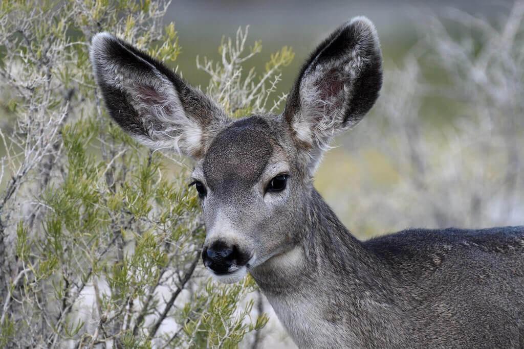 Esemplare di cervo mulo