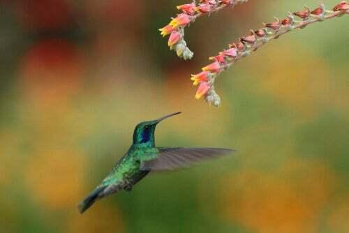 Sapevate che il colibrì è importantissimo per l'impollinazione?