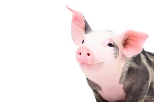 Cucciolo di maiale e immunologia veterinaria