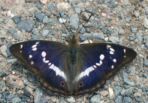 la farfalla iride si nutre di cadaveri e frutta marcia