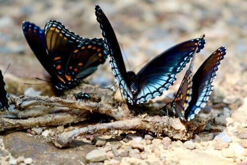 Esistono farfalle carnivore? La risposta è sì.