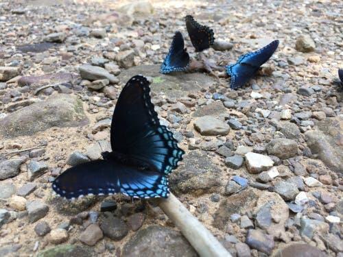 l'1% di questi insetti è rappresentato da farfalle carnivore