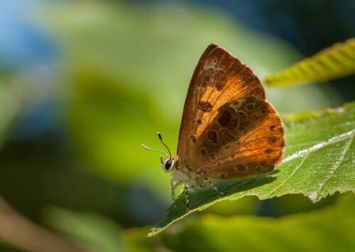 la Feniseca tarquinius è l'unica farfalla carnivora che vive nella zona settentrionale del continente americano