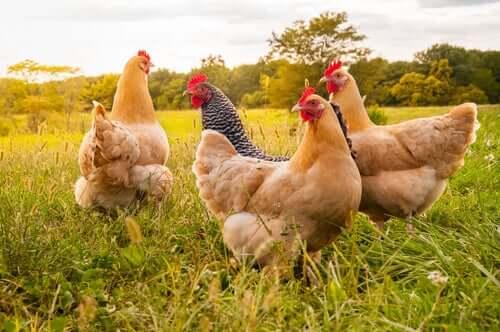 galline in un prato