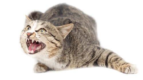 Gatto aggressivo che soffia
