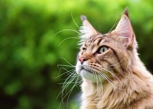 i baffi dei gatti svolgono una varietà di funzioni