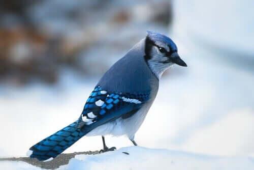ghiandaia azzurra americana nella neve