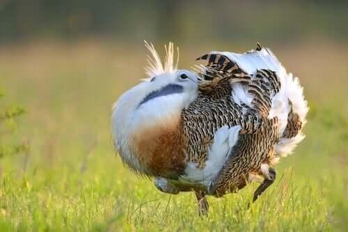 il lek, un fenomeno diffuso tra gli uccelli