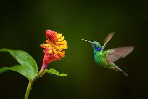 Impollinazione del colibrì
