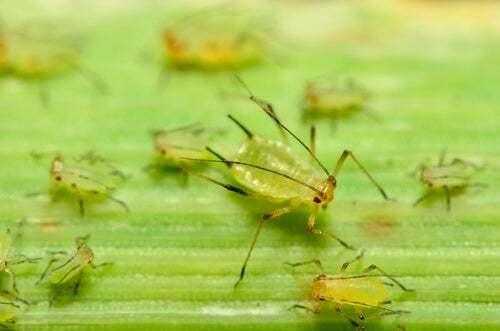 Il possibile uso degli insetti come armi biologiche