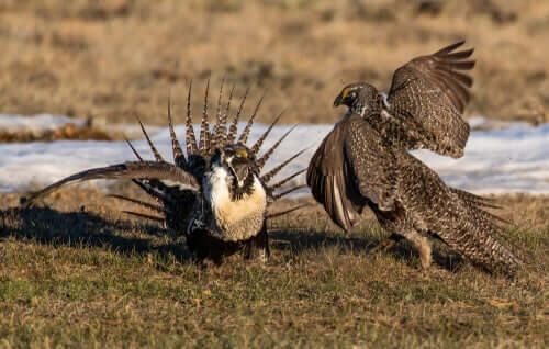 uccelli competono per le femmine