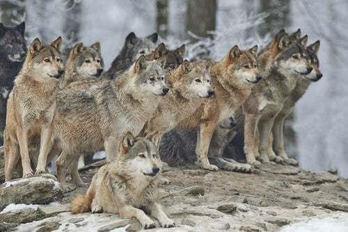 Branco di lupi nella natura