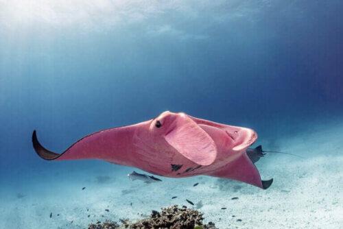 Avvistata di nuovo la manta rosa della Grande Barriera Corallina
