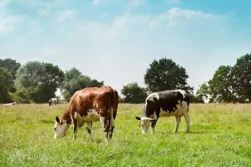 mucche che brucano in un prato